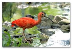 critical essay on the scarlet ibis